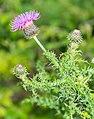 Carduus nigrescens subsp. vivariensis in Causse Comtal (2).jpg