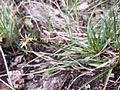 Carex halleriana sl1.jpg