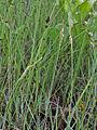 Carex livida Oulu, Finland 18.06.2013.jpg