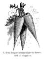 Carotte demi-longue intermédiaire de James Vilmorin-Andrieux 1904.png