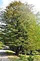 Carpinus caucasica Caucasian Hornbeam კავკასიური რცხილა (4).JPG