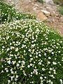 Caryophyllaceae near Monte Cinto.jpg