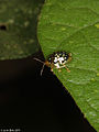 Cassidinae (Chrysomelidae) from Java (5908654807).jpg