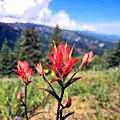 Castilleja-linariifolia-ceo.jpg