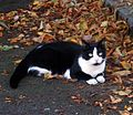 Cat among leaves (2707079826).jpg