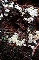 Catinella olivacea 12932463.jpg