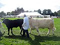 Cattle, 109th Poynton Show - geograph.org.uk - 1466392.jpg