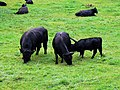Cattle, Woodchester Park - geograph.org.uk - 931727.jpg