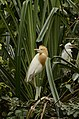 Cattle egret (Bubulcus ibis) from Ranganathittu Bird Sanctuary JEG4305.JPG