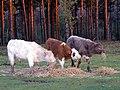 Cattle feeding on straw, Longdown Inclosure, New Forest - geograph.org.uk - 306484.jpg