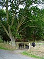 Cattle under an oak - geograph.org.uk - 243092.jpg