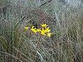 Cattleya crispata.jpg