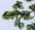 Ceiba speciosa, loof, Manie van der Schijff BT, a.jpg