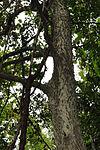 Celtis occidentalis 00359.jpg