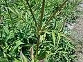 Cephalaria gigantea 2018-07-09 5030.jpg