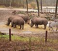 Ceratotherium simum - White Rhino2 BZ ies.jpg