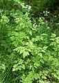 Chaerophyllum temulum kz05.jpg