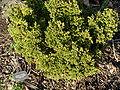 Chamaecyparis pisifera Phipps.JPG