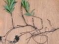 Chamerion angustifolium rhizomes, wilgenroosje wortelstokken.jpg