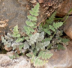 Cheilanthes parryi 1.jpg