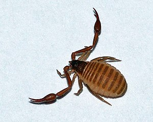 Bücherskorpion (Chelifer cancroides)