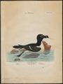 Chenalopex torda - 1700-1880 - Print - Iconographia Zoologica - Special Collections University of Amsterdam - UBA01 IZ17800177.tif