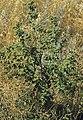 Chenopodium berlandieri (5133108616).jpg
