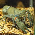 Cherax destructor by OpenCage.jpg
