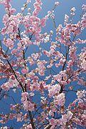 Cherry Blossom Spring Sky (4531848988) .jpg