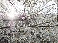 Cherry blossom (12878128663).jpg