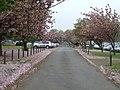 Cherry blossom avenue - geograph.org.uk - 418090.jpg