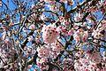 Cherry blossoms Lake Balboa (20140330-0318).JPG
