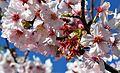 Cherry blossoms Lake Balboa (20140330-0366).JPG
