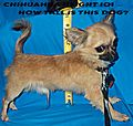 Chihuahua teacup size under 3 pounds stands about six inches at the withers.jpg