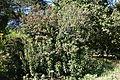 Chimonanthus praecox - San Francisco Botanical Garden - DSC09823.JPG