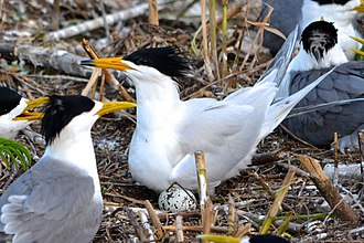 Chinese crested tern - A Chinese crested tern among greater crested terns