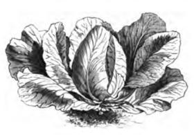 Page vilmorin andrieux les plantes potag res wikisource - Chou coeur de boeuf ...