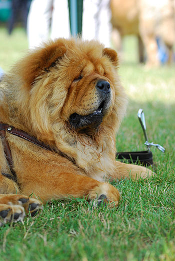 Chow Chow, XI International Dog Show in Kraków