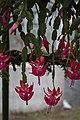 Christmas Cactus (32128686746).jpg