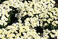 Chrysanthemum Padre White 1zz.jpg