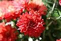 Chrysanthemum Tabitha 0zz.jpg