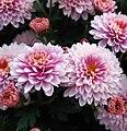 Chrysanthemum indicum.jpg