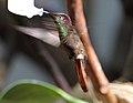 Chrysolampis mosquitus - Tiergarten Schönbrunn 3.jpg