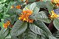 Chrysothemis pulchella (Boltz Conservatory).JPG
