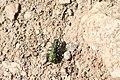 Cicindela gallica, Vanoise - img 22688.jpg