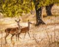 Ciervas cerca del río Jándula, en el Parque Natural de la Sierra de Andújar.png