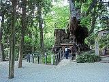 Cinnamomum camphora 20100612 (Kinomiya Shrine) (A).jpg