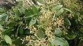 Cinnamomum iners flowers.jpg