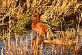 Cinnamon teal on Seedskadee National Wildlife Refuge (40885767465).jpg