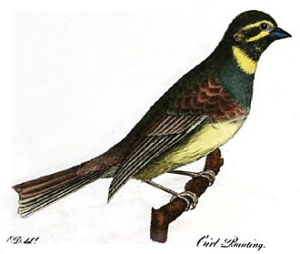 Ornithological Dictionary - Frontispiece of 1802 edition of the Ornithological Dictionary, showing a cirl bunting. Montagu discovered the species near his home in Devon.